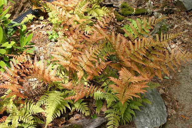 Autumn Fern 615 x 410